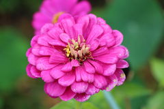 Zinniablommor i trädgården Royaltyfria Bilder