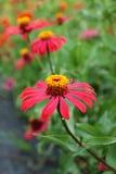 Zinniablommor, vildblommor, röda blommor Fotografering för Bildbyråer