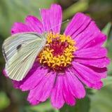 Zinniablume mit kleinem weißem Schmetterling Stockbilder