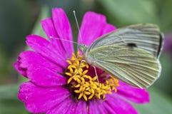 Zinniablume mit kleinem weißem Schmetterling Stockfotografie