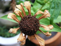 Zinniablume (Zinnia violacea Cav etwas körniges) lizenzfreie stockfotografie