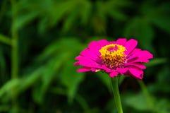 Zinniaen är en härlig rosa bakgrund Fotografering för Bildbyråer