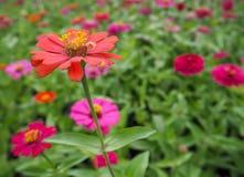 Zinniaen blommar färgrikt, orange, rosa, gult, rött, lila Royaltyfri Bild