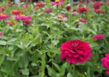 Zinniaen blommar färgrikt, orange, rosa, gult, rött, lila arkivfoto