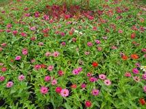 Zinniaen blommar färgrikt, orange, rosa, gult, rött, lila royaltyfria bilder
