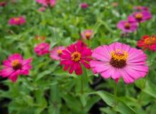 Zinniaen blommar färgrikt, orange, rosa, gult, rött, lila arkivbild