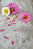 Zinniaen blommar på en träbakgrund Arkivbild