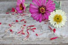 Zinniaen blommar på en träbakgrund Arkivfoton