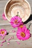 Zinniaen blommar på en träbakgrund Arkivfoto