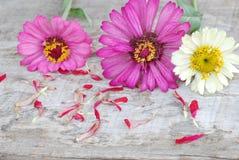 Zinniaen blommar på en träbakgrund Fotografering för Bildbyråer