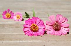 Zinniaen blommar på en träbakgrund Royaltyfri Foto