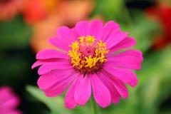 Zinniaen blommar, thailändska blommor, rosa färgblommor Royaltyfria Bilder