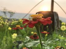 Zinniarot mit dem gelben Blütenstaub lizenzfreie stockfotos