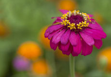 Zinnias Royalty Free Stock Photo