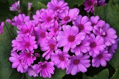 Zinnias. Purple zinnia in full bloom Royalty Free Stock Images