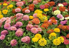 Zinnias in Abundance Royalty Free Stock Images