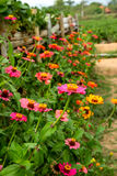 Zinnias. Along the bamboo fence Royalty Free Stock Images