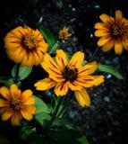 Zinnias amarelos Imagens de Stock Royalty Free