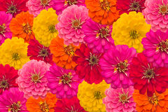 Zinnias background. Colorful of Blooming Zinnias background Royalty Free Stock Photos