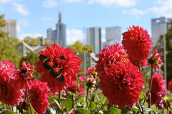 Zinnias in the city Stock Photos