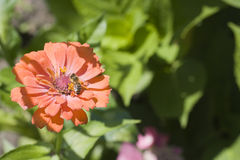 Zinnias Royalty Free Stock Image