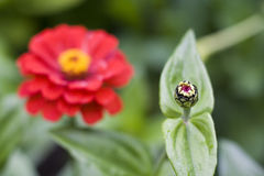 Zinnias Stock Images