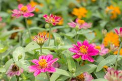 Zinnias. Colorful zinnias blooming in the garden Stock Photo