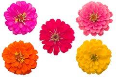 Zinnias de floraison Photographie stock libre de droits
