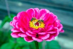 Zinnias de la flor Fotos de archivo