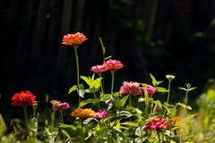 Zinnias en el jardín imagen de archivo libre de regalías