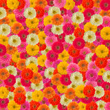 Zinnias flower background Stock Images
