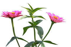 Zinnias Flower plant Stock Photography