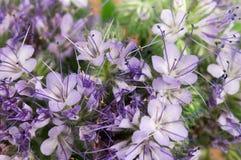 Zinnias flowers Stock Photography