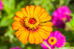 Zinnias flowers Royalty Free Stock Image