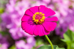 Zinnias flowers Stock Image