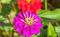 Zinnias flowers Royalty Free Stock Photos