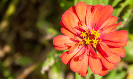 Zinnias flowers Stock Images