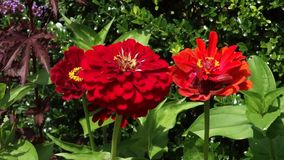 Zinnias stock footage