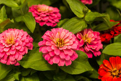 Zinnias Royalty Free Stock Images