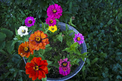 Zinnias in pot Royalty Free Stock Photos