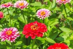 Zinnias rojos y rosados en el macizo de flores, cierre para arriba Foto de archivo libre de regalías