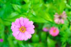 Zinnias rosa Fotografia Stock