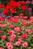 Zinnias rosa, bello giardino Immagine Stock