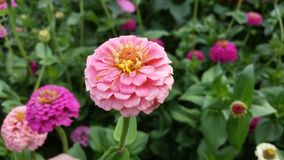 Zinnias roses photographie stock libre de droits
