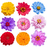 Zinnias Set Royalty Free Stock Photography