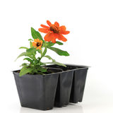 Zinnias to go. Pretty and colorful little zinnia plant is ready for the garden Royalty Free Stock Image