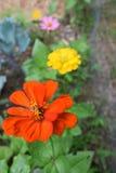 Zinniaträdgård Royaltyfria Bilder