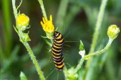 Zinnober-Motte Caterpillar (Tyria-jacobaeae) Ragwort flowe essend Stockfotos