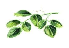 Ziołowi Moringa liście Akwareli ręka rysująca ilustracja, odizolowywająca na białym tle zdjęcie royalty free