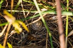 Ziołowy mały ślimaczek z ślimakowatym wzorem Suchej i świeżej w trawie, kolorze żółtym i zieleni, Zwierzę, obrazy stock